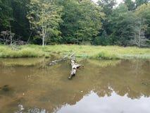 Черепахи на воде имени пользователя в области заболоченного места или болота стоковая фотография