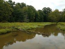Черепахи на воде имени пользователя в области заболоченного места или болота стоковое фото rf