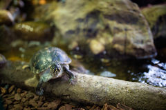 Черепахи на дереве стоковые фотографии rf