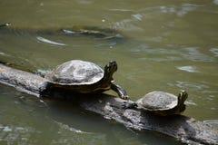 Черепахи на журнале Стоковое Изображение RF