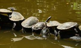 Черепахи на зоопарке Мельбурна стоковое фото
