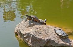Черепахи на камне стоковое фото rf