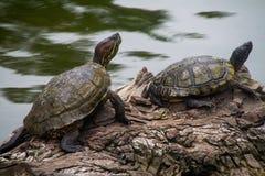 Черепахи на древесине стоковое изображение rf