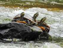 3 черепахи на утесе стоковые изображения rf
