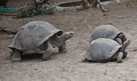 черепахи островов galapagos стоковое фото