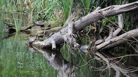 Черепахи пресноводны на выхватах Стоковое Изображение