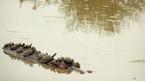 Черепахи принимая поезд гиппопотама Стоковое Изображение RF
