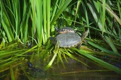 Черепахи приходя вне от воды иметь солнце стоковая фотография rf