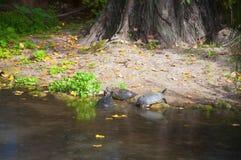 Черепахи приходя вне от пруда на берег, осень стоковое фото rf