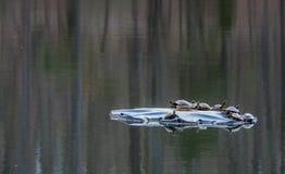 Черепахи сидя на утесе в солнце стоковые фотографии rf