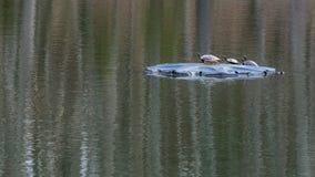 Черепахи сидя на утесе в солнце стоковое фото