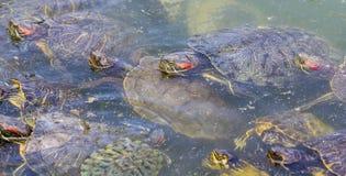 черепахи слайдера eared пруда красные Стоковые Фото
