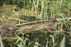 Черепахи смотря на на Lac Fauvel, Blainville, Квебеке стоковое фото rf