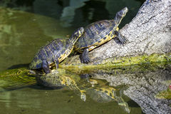 Черепахи слайдера пруда на ветви Стоковые Изображения RF