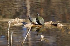 Черепахи слайдера Yellowbelly Стоковые Изображения