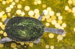 Черепахи, черепахи в воде, красивые черепахи стоковая фотография rf