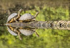 черепахи стоковое фото
