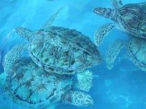 черепахи Стоковое фото RF