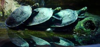 3 черепахи Стоковая Фотография