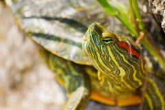 черепахи Стоковое Изображение
