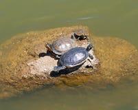черепахи Стоковая Фотография RF
