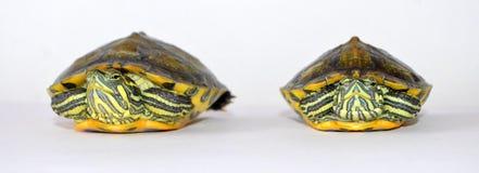 черепахи Стоковые Фото