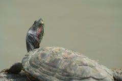 Черепахи 6 Стоковые Фотографии RF