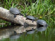 черепахи стоковое изображение rf