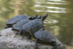 черепахи Стоковые Изображения RF