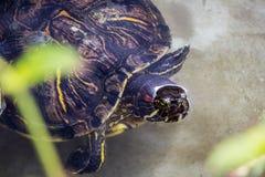 черепахи 2 Стоковая Фотография
