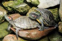 черепахи 2 стоковое изображение