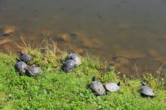 черепахи Стоковые Фотографии RF