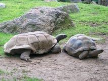 Черепахи Aldabra гигантские Стоковые Фото