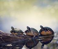 Черепахи Cooter Флориды на журнале Стоковые Фото