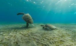 Черепахи Hawksbill играя совместно на песочном дне моря Стоковое Изображение RF
