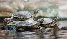 Черепахи heated на камне стоковое изображение