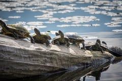 7 черепах сидя на древесине смещения в Lake Washington Стоковые Изображения RF