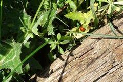 Черепашка дамы в лист на весне Стоковое фото RF