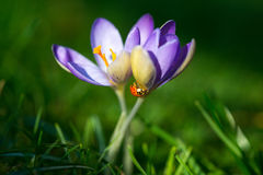 Черепашка дамы на крокусе весны цветет, изображение макроса с малой глубиной поля Стоковые Изображения