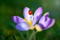 Черепашка дамы на цветке крокуса Стоковое фото RF