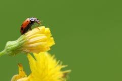 Черепашка дамы на цветке yeĺlow стоковая фотография