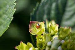 Черепашка дамы на Hortensia Стоковое Изображение