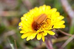 Черепашка в мае или майский жук или Melolontha на одуванчике Стоковое Фото