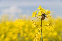 Черепашка в мае на поле рапса Стоковые Изображения RF