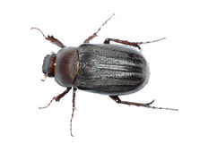 черепашка жука Стоковая Фотография RF