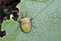 Черепашка завизированная в обмылках атлантического тропического леса Стоковые Фото