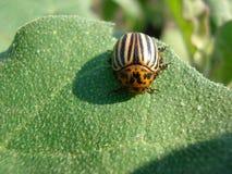 Черепашка картошки Стоковая Фотография