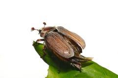 черепашка может melolontha vulgaris Стоковые Изображения