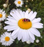 Черепашка на желтых белых маргаритках Стоковое фото RF