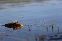 Черепашка на озере весны воды Стоковая Фотография